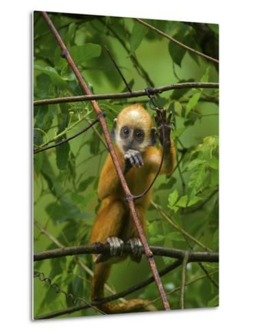 A Baby White-Headed Langur, Trachypithecus Leucocephalus, in a Tree-Jed Weingarten/National Geographic My Shot-Metal Print