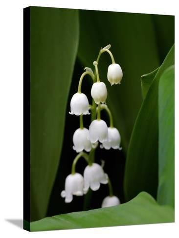 Close Up of Delicate Lily of the Valley Flowers-Amy & Al White & Petteway-Stretched Canvas Print