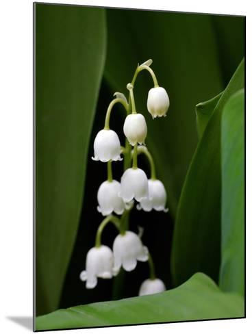 Close Up of Delicate Lily of the Valley Flowers-Amy & Al White & Petteway-Mounted Photographic Print