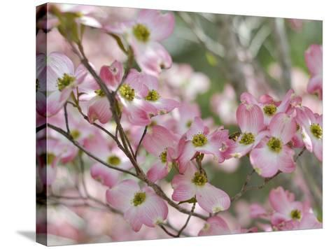 A Profusion of Pink Dogwood Blossoms-Amy & Al White & Petteway-Stretched Canvas Print
