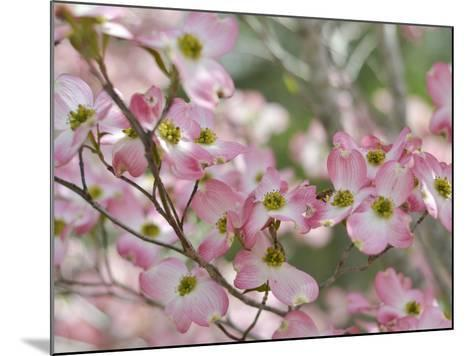 A Profusion of Pink Dogwood Blossoms-Amy & Al White & Petteway-Mounted Photographic Print