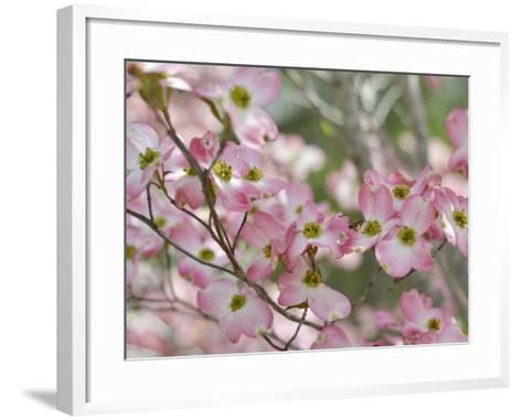 A Profusion of Pink Dogwood Blossoms-Amy & Al White & Petteway-Framed Art Print