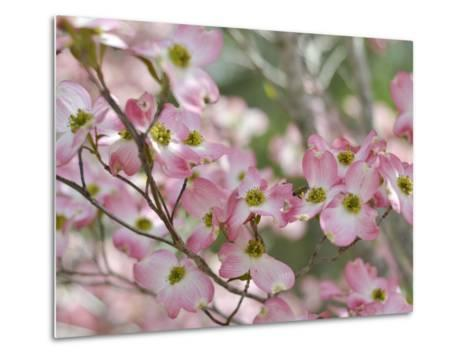 A Profusion of Pink Dogwood Blossoms-Amy & Al White & Petteway-Metal Print
