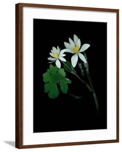 A Scan of a Bloodroot Plant, Sanguinaria Canadensis, in Bloom-Amy & Al White & Petteway-Framed Art Print