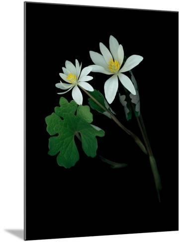 A Scan of a Bloodroot Plant, Sanguinaria Canadensis, in Bloom-Amy & Al White & Petteway-Mounted Photographic Print