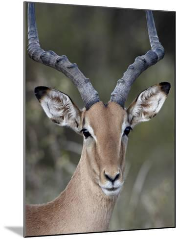 Impala (Aepyceros Melampus) Buck, Kruger National Park, South Africa, Africa-James Hager-Mounted Photographic Print