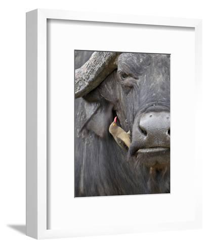 Red-Billed Oxpecker (Buphagus Erythrorhynchus) on a Cape Buffalo (African Buffalo) (Syncerus Caffer-James Hager-Framed Art Print