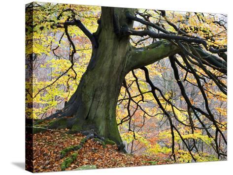 Autumn Tree, Bolton Abbey, Yorkshire, England, United Kingdom, Europe-Mark Sunderland-Stretched Canvas Print