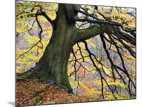 Autumn Tree, Bolton Abbey, Yorkshire, England, United Kingdom, Europe-Mark Sunderland-Mounted Photographic Print