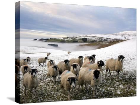 Sheep Waiting to Be Fed in Winter, Lower Pennines, Cumbria, England, United Kingdom, Europe-James Emmerson-Stretched Canvas Print