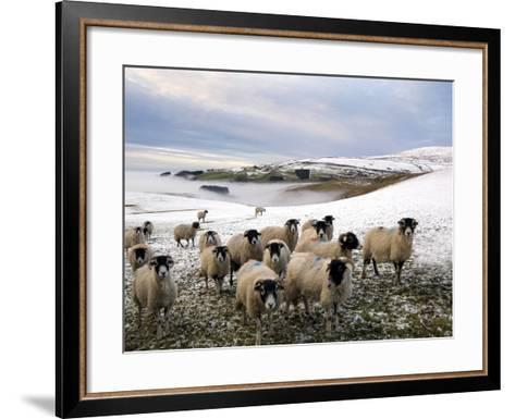 Sheep Waiting to Be Fed in Winter, Lower Pennines, Cumbria, England, United Kingdom, Europe-James Emmerson-Framed Art Print