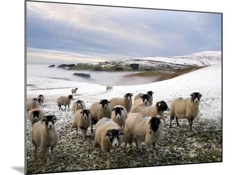 Sheep Waiting to Be Fed in Winter, Lower Pennines, Cumbria, England, United Kingdom, Europe-James Emmerson-Mounted Photographic Print