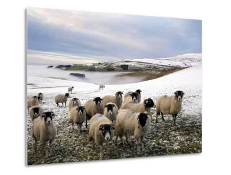 Sheep Waiting to Be Fed in Winter, Lower Pennines, Cumbria, England, United Kingdom, Europe-James Emmerson-Metal Print