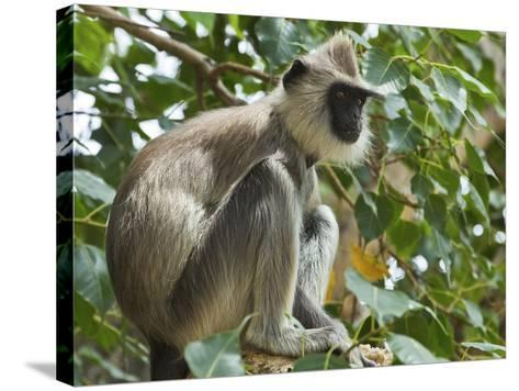 Grey (Hanuman) Langur Monkey in This Sacred Pilgrimage Town, Often Seen Begging at Temples, Katarag-Robert Francis-Stretched Canvas Print
