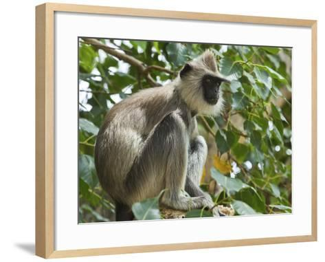 Grey (Hanuman) Langur Monkey in This Sacred Pilgrimage Town, Often Seen Begging at Temples, Katarag-Robert Francis-Framed Art Print