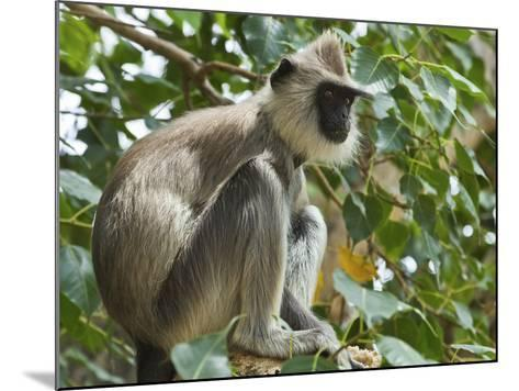 Grey (Hanuman) Langur Monkey in This Sacred Pilgrimage Town, Often Seen Begging at Temples, Katarag-Robert Francis-Mounted Photographic Print