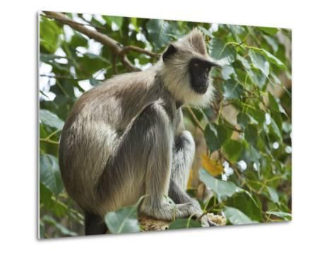 Grey (Hanuman) Langur Monkey in This Sacred Pilgrimage Town, Often Seen Begging at Temples, Katarag-Robert Francis-Metal Print