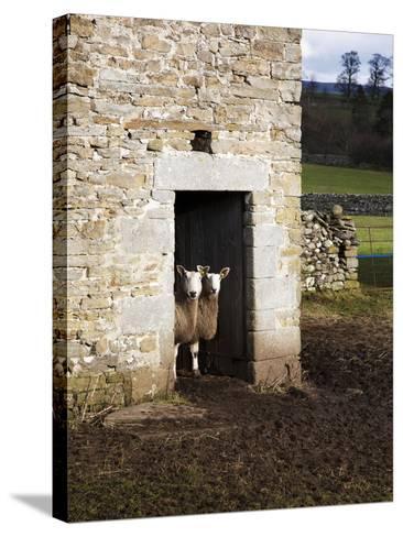 Two Sheep in a Field Barn Near Aysgarth, Yorkshire Dales, England, United Kingdom, Europe-Mark Sunderland-Stretched Canvas Print