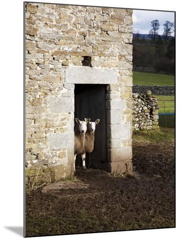 Two Sheep in a Field Barn Near Aysgarth, Yorkshire Dales, England, United Kingdom, Europe-Mark Sunderland-Mounted Photographic Print