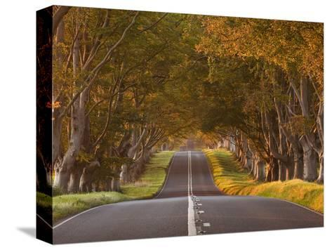 The Winding Road Through the Beech Avenue at Kingston Lacy, Dorset, England, United Kingdom, Europe-Julian Elliott-Stretched Canvas Print
