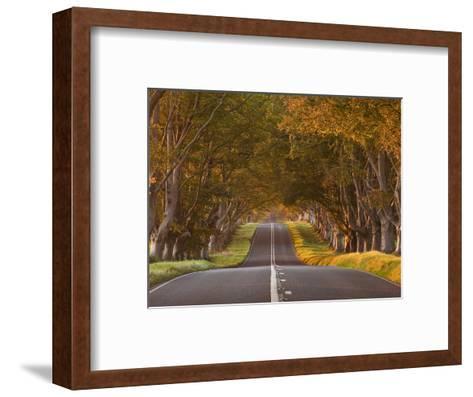 The Winding Road Through the Beech Avenue at Kingston Lacy, Dorset, England, United Kingdom, Europe-Julian Elliott-Framed Art Print