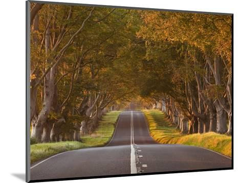 The Winding Road Through the Beech Avenue at Kingston Lacy, Dorset, England, United Kingdom, Europe-Julian Elliott-Mounted Photographic Print