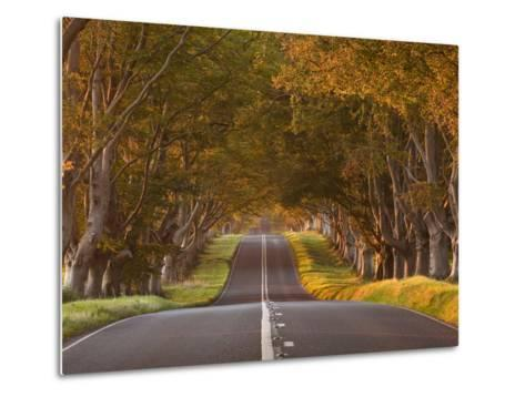 The Winding Road Through the Beech Avenue at Kingston Lacy, Dorset, England, United Kingdom, Europe-Julian Elliott-Metal Print