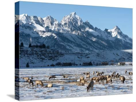 Elk (Cervus Canadensis) with Antlers, Snow-Covered Teton Mountains in the Background, Elk Wildlife -Kimberly Walker-Stretched Canvas Print