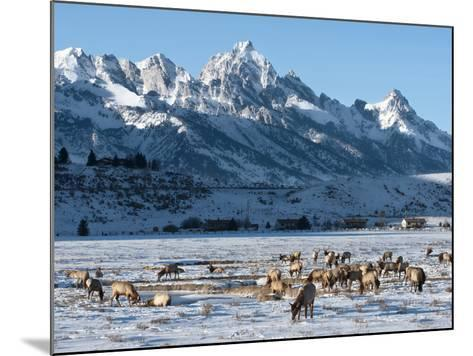 Elk (Cervus Canadensis) with Antlers, Snow-Covered Teton Mountains in the Background, Elk Wildlife -Kimberly Walker-Mounted Photographic Print