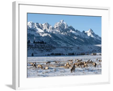 Elk (Cervus Canadensis) with Antlers, Snow-Covered Teton Mountains in the Background, Elk Wildlife -Kimberly Walker-Framed Art Print
