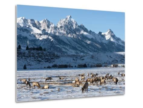 Elk (Cervus Canadensis) with Antlers, Snow-Covered Teton Mountains in the Background, Elk Wildlife -Kimberly Walker-Metal Print