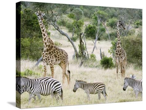 Zebras and Giraffes, Masai Mara, Kenya, Africa-Daniel Schreiber-Stretched Canvas Print