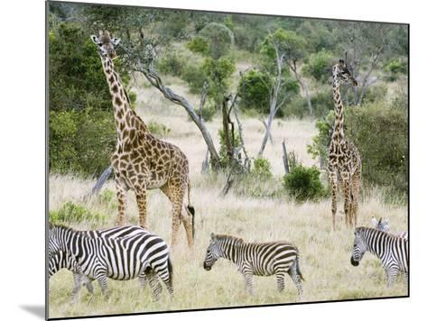 Zebras and Giraffes, Masai Mara, Kenya, Africa-Daniel Schreiber-Mounted Photographic Print