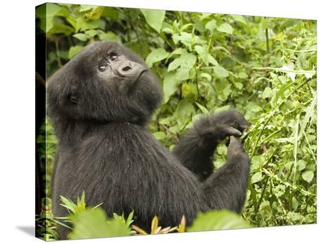 Mountain Gorilla in Volcanoes National Park, Virunga Mountains, Rwanda, Africa-Daniel Schreiber-Stretched Canvas Print
