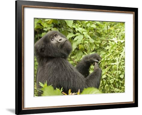 Mountain Gorilla in Volcanoes National Park, Virunga Mountains, Rwanda, Africa-Daniel Schreiber-Framed Art Print
