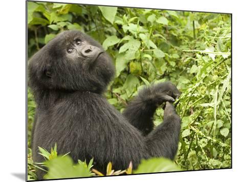 Mountain Gorilla in Volcanoes National Park, Virunga Mountains, Rwanda, Africa-Daniel Schreiber-Mounted Photographic Print