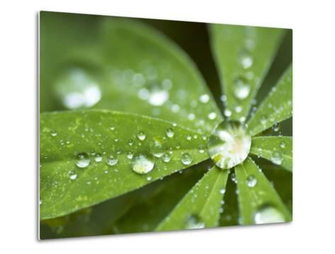 Rain Collected on Arctic Lupine, Cathedral Lake Provincial Park, British Columbia, Canada-Paul Colangelo-Metal Print