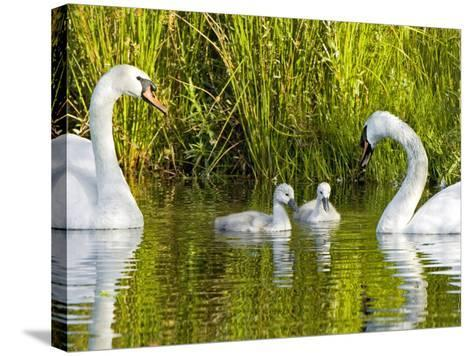 Mute Swan, Stanley Park, British Columbia-Paul Colangelo-Stretched Canvas Print