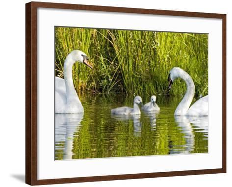 Mute Swan, Stanley Park, British Columbia-Paul Colangelo-Framed Art Print