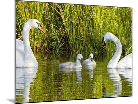 Mute Swan, Stanley Park, British Columbia-Paul Colangelo-Mounted Photographic Print