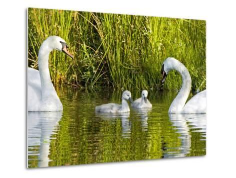 Mute Swan, Stanley Park, British Columbia-Paul Colangelo-Metal Print