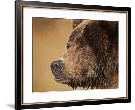 Coastal Brown Bear Fishing for Spawning Salmon Along Kinak Bay, Katmai National Park, Alaska, Usa-Paul Souders-Framed Art Print