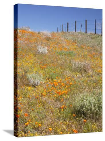 Poppy and Goldfield Flowers with Fence, Antelope Valley Near Lancaster, California, Usa-Jamie & Judy Wild-Stretched Canvas Print