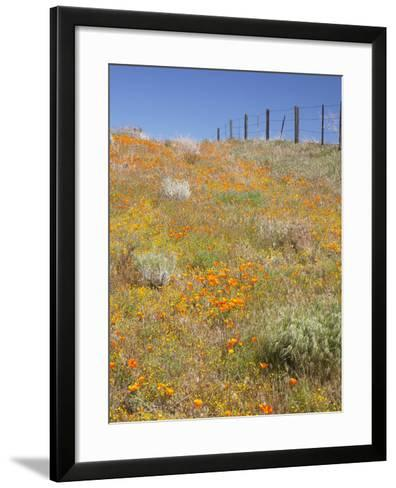 Poppy and Goldfield Flowers with Fence, Antelope Valley Near Lancaster, California, Usa-Jamie & Judy Wild-Framed Art Print