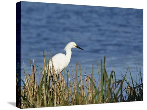 Snowy Egret (Egretta Thula), Little St Simon's Island, Barrier Islands, Georgia, Usa-Pete Oxford-Stretched Canvas Print