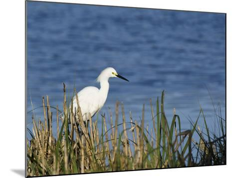 Snowy Egret (Egretta Thula), Little St Simon's Island, Barrier Islands, Georgia, Usa-Pete Oxford-Mounted Photographic Print