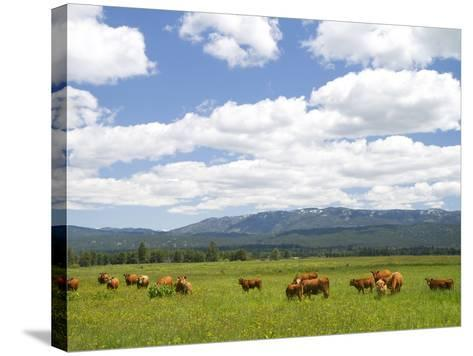 Cattle Graze in a Pasture Near Cascade, Idaho, Usa-David R^ Frazier-Stretched Canvas Print