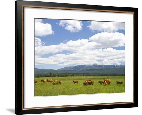 Cattle Graze in a Pasture Near Cascade, Idaho, Usa-David R^ Frazier-Framed Art Print