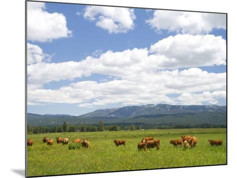 Cattle Graze in a Pasture Near Cascade, Idaho, Usa-David R^ Frazier-Mounted Photographic Print