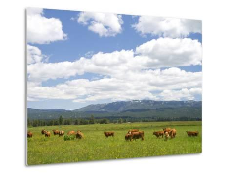 Cattle Graze in a Pasture Near Cascade, Idaho, Usa-David R^ Frazier-Metal Print